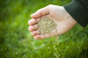 Organic Lawn Care Overseeding Your Lawn
