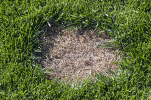 Green Lawn Brown Patches From Dog Urine