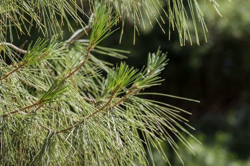 Pine Needle Shed Organic Fertilizer