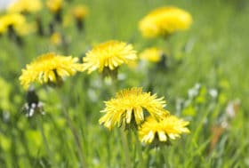 get rid of weeds use organic lawn care fertilizer