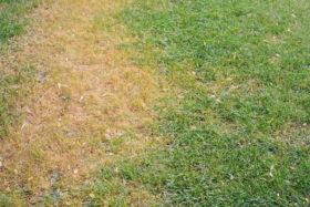 Dead lawn treat grass dog urine products
