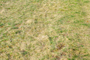 dry lawn brown patches dry winter