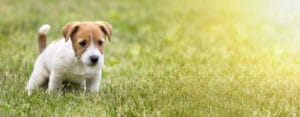 dog pee treat grass for urine spots