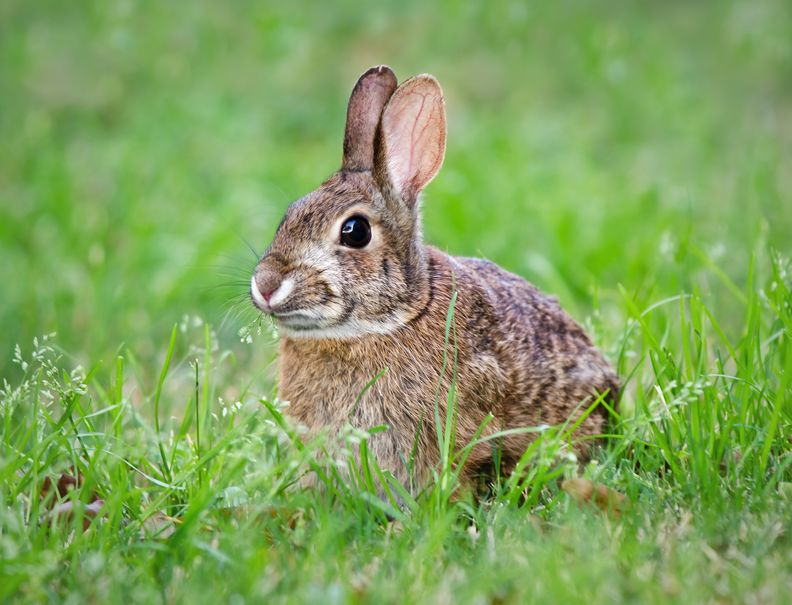 rabbits brown patches revive products