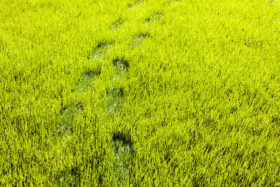 wet grass cannot mow early morning green grass footprints