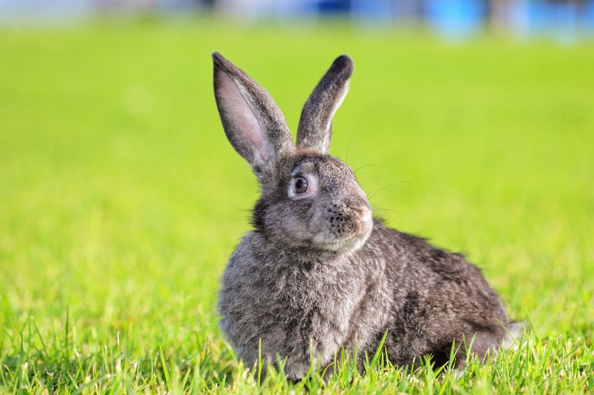 rabbit grass protect lawn revive it