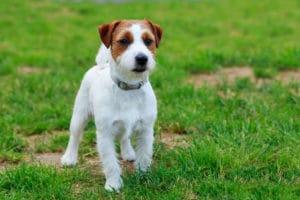 dog urine brown spots on grass acidic
